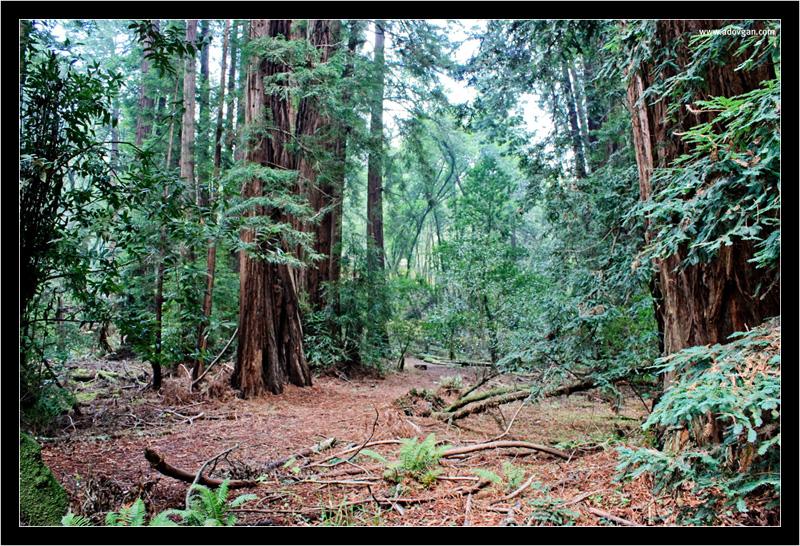 Мюирский лес