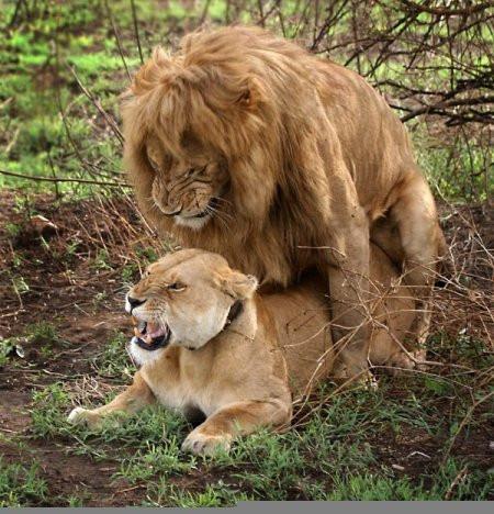 Лев жистоко трахает львицу фото 698-114