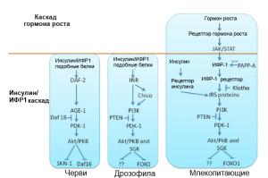 Insulin-IGF1_pathway