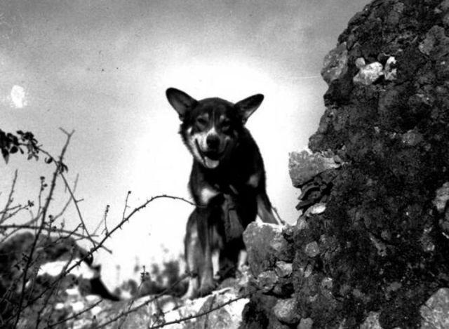 """""""Чипс"""" или история одного сторожевого пса в армии США."""