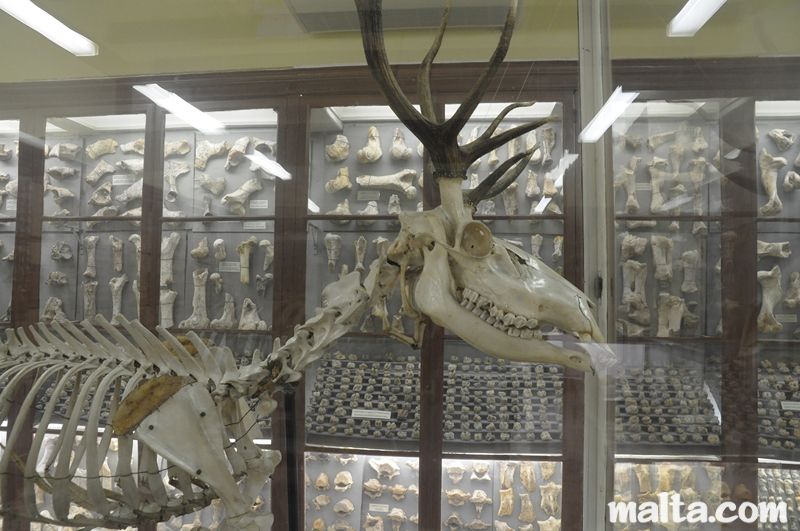 deer-skeleton-shown-in-the-ghar-dalam-cave-s-museum-of-birzebbuga