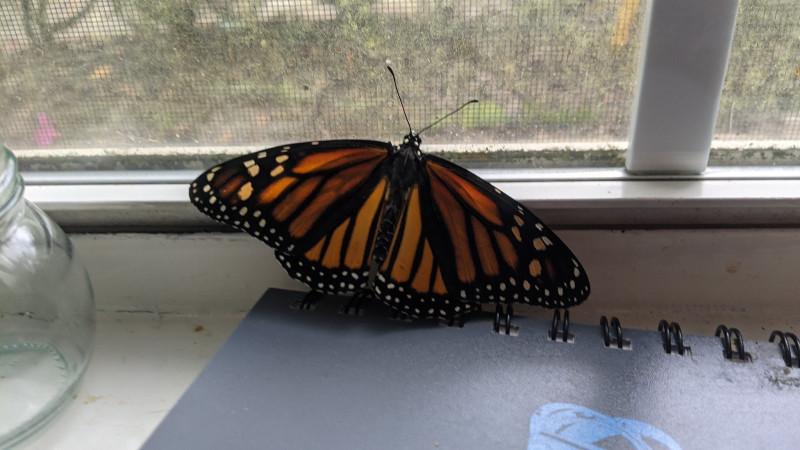 Когда бабочка вылупляется она двигается к окру и свету, вероятно думая, как ей не повезло... родиться в неволе