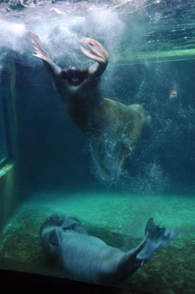 Океанариум. Играющие тюлени