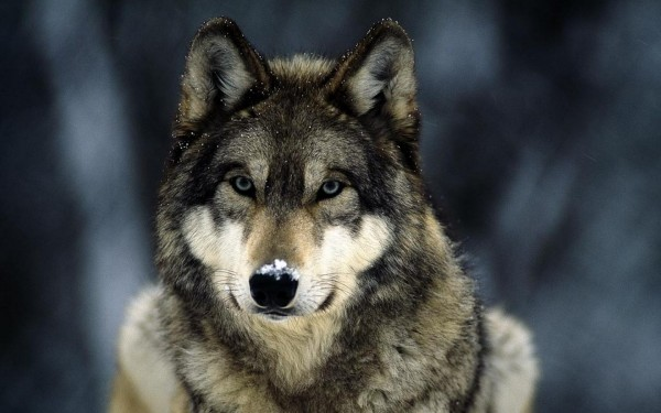 Образец_волка