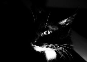 Урчат ли тайские кошки?