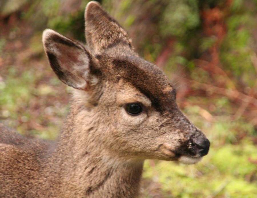 23 feb 2013 baby deer 10