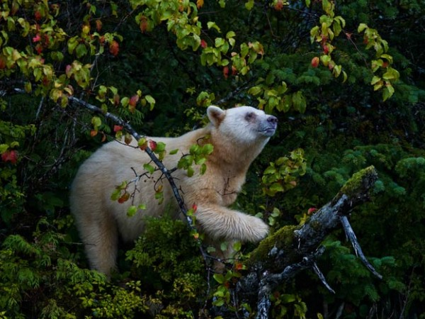 spirit bear by Paul Nicklen