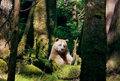 kermode-bear-nap-500