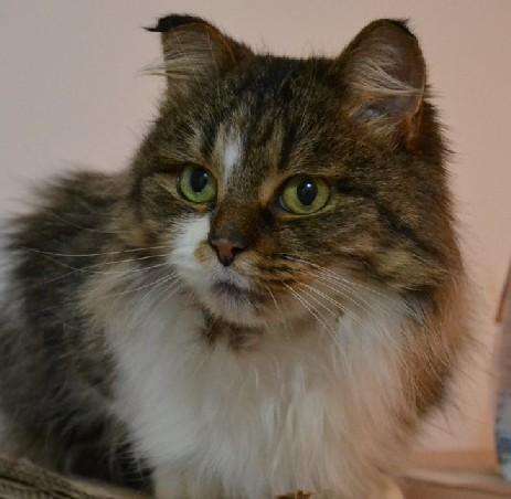 Почему у кошки загнулись кончики ушей