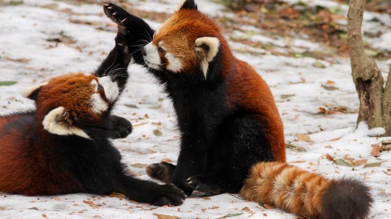 red-panda-wallpaper-cute-couple