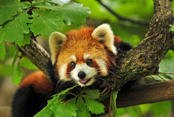 super-miloe-sozdanie-krasnaja-panda