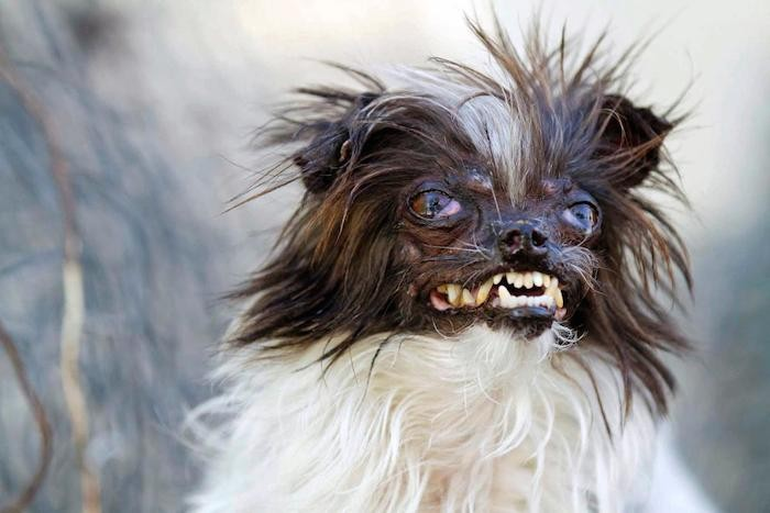 2014-world-ugliest-dog-contest-peanut