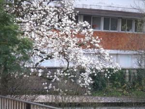 magnolija1
