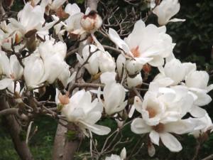 magnolija3