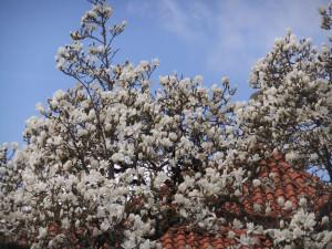 magnolija5
