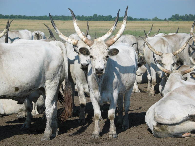 Hungarian_Grey_Cattle10