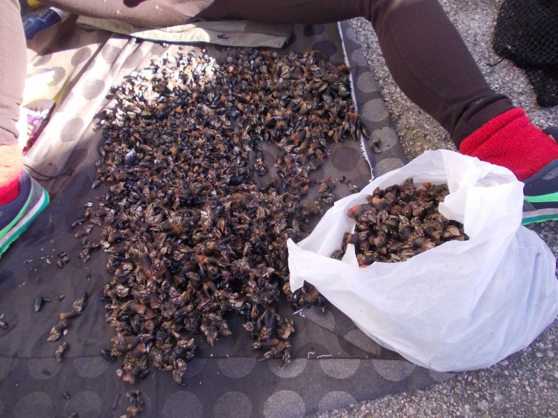 Моллюски Percebes