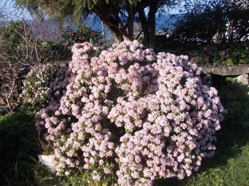 Денежное дерево в цвету