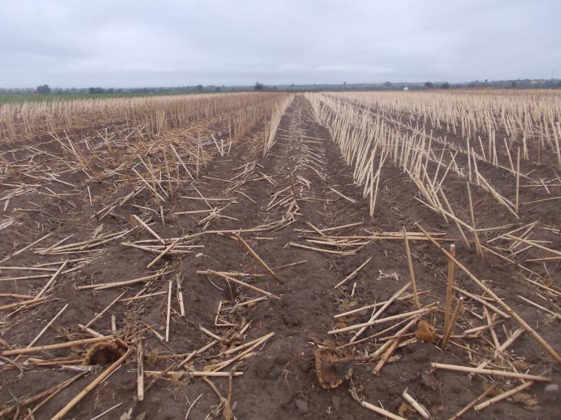 Собранное кукурузное поле