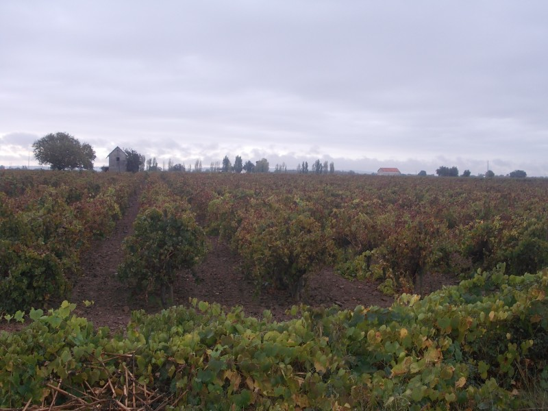 Желтеющие уже виноградники