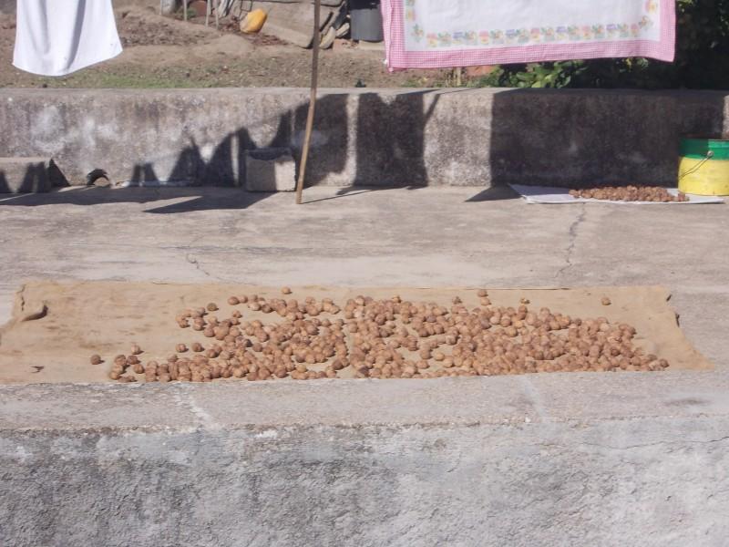 Грецкие орехи на просушке