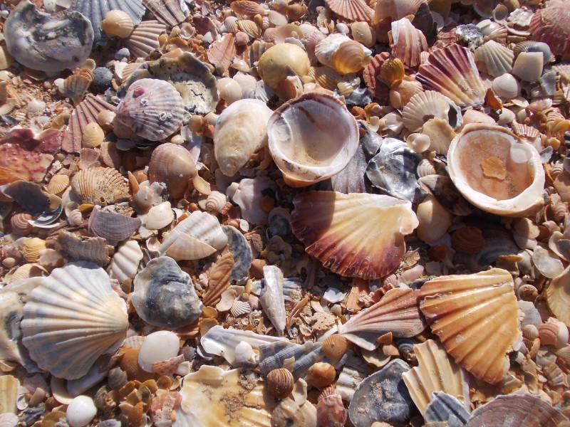 Ракушки на пляже в Лагуше