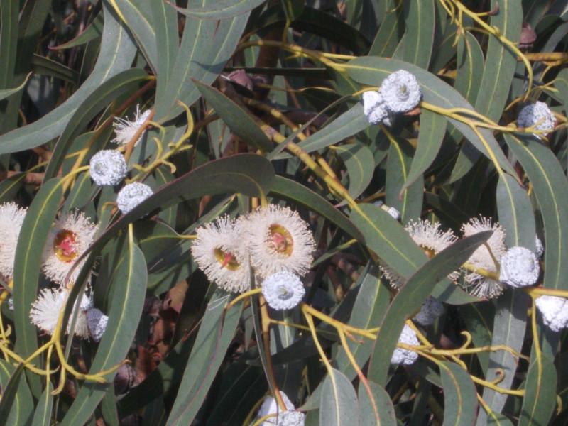 цветы эвкалипта