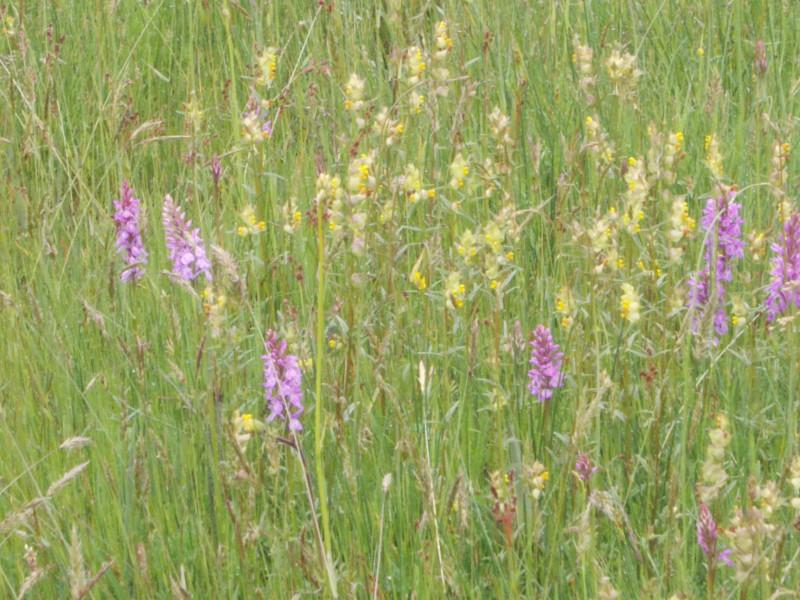 дикие орхидеи в полях