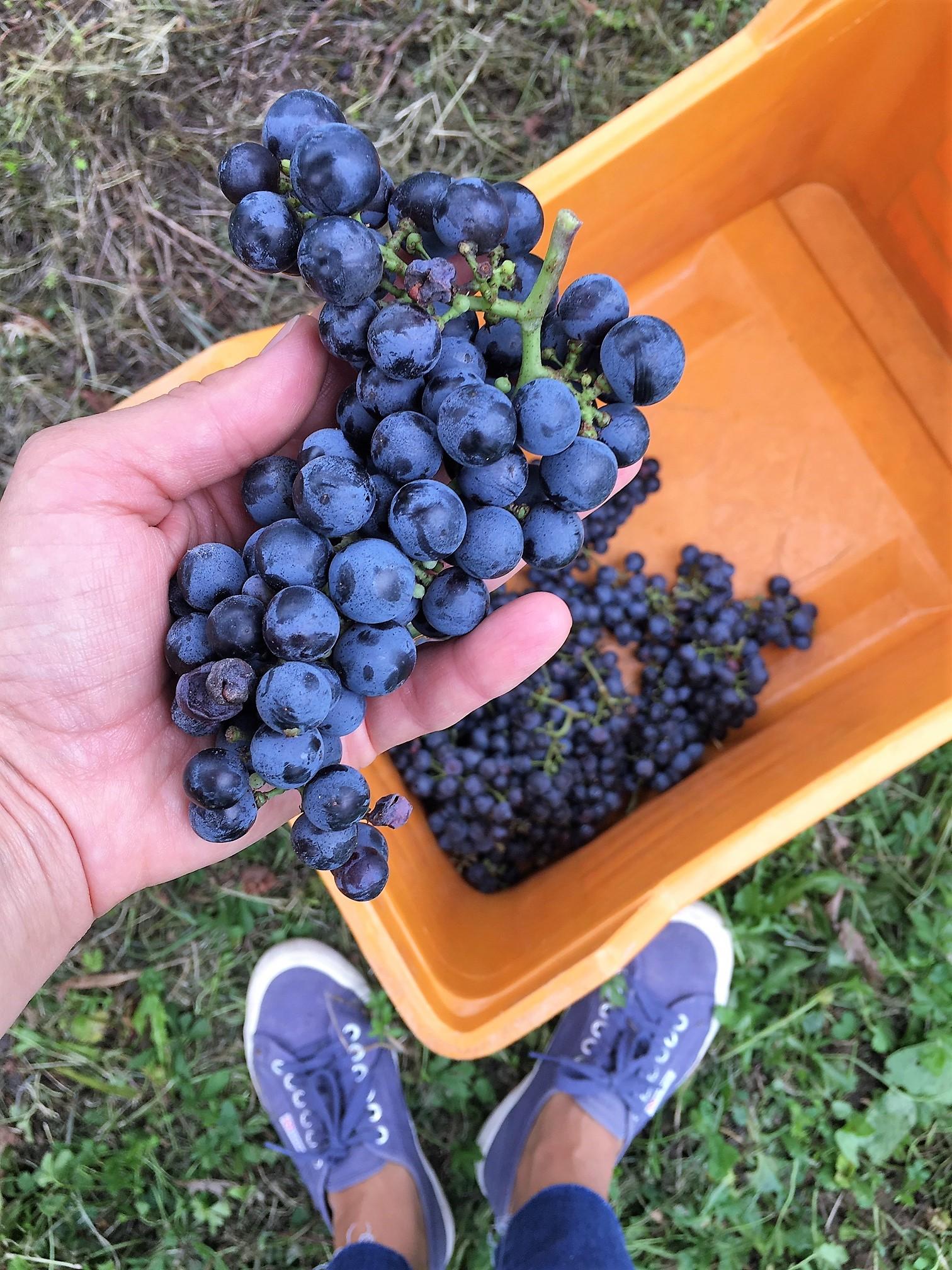 Вкусная итальянская осень: вендеммия, сбор винограда