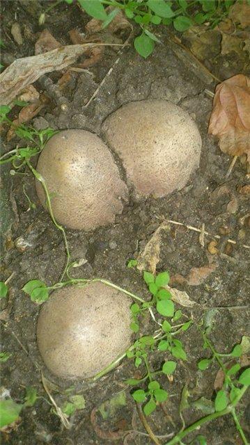 Лечебные грибы_6