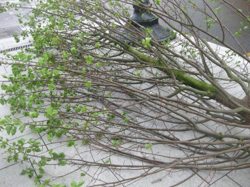 Тверская деревья Елена Лебедь 2.jpg