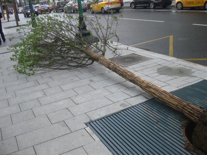 Тверская деревья Елена Лебедь 4.jpg