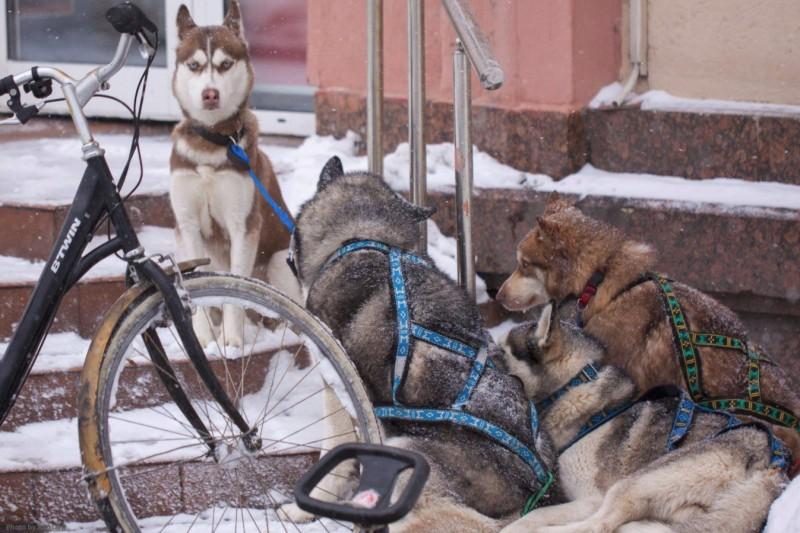 Собачьи упряжки 2.jpg