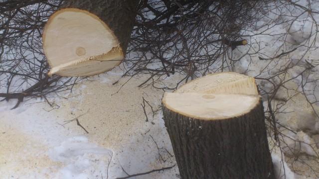 Уничтожение деревьев на ул.Народного ополчения_2