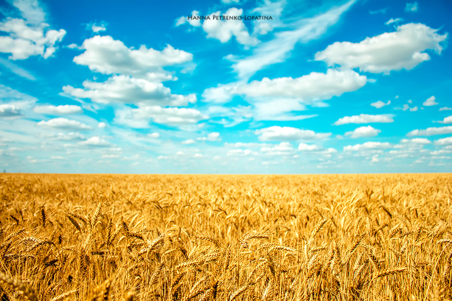 field-of-wheat-and-many-clouds-in-the-blue-sky.jpg