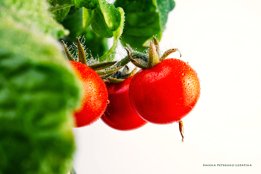 red-cherry-tomatoes-grow-on-a-bush-on-a-white-background-17.jpg