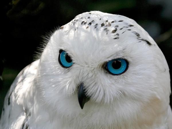 1326581279_snowy-owl-close-up-1280x960