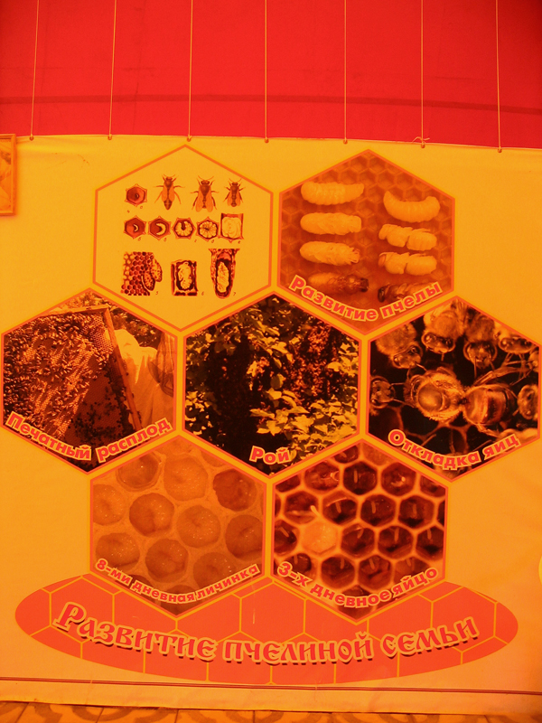 Развитие пчелиной семьи
