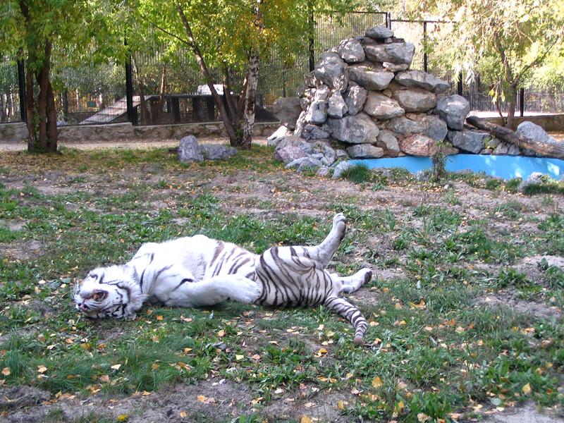 Белый тигр в зоопарке 2014 год