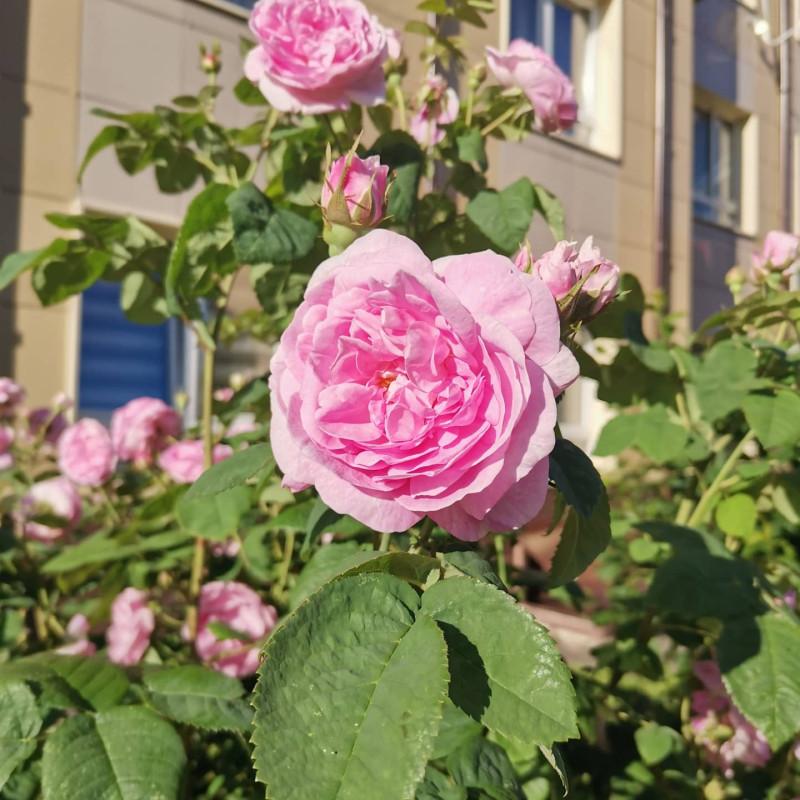 Розовые розы, ооо