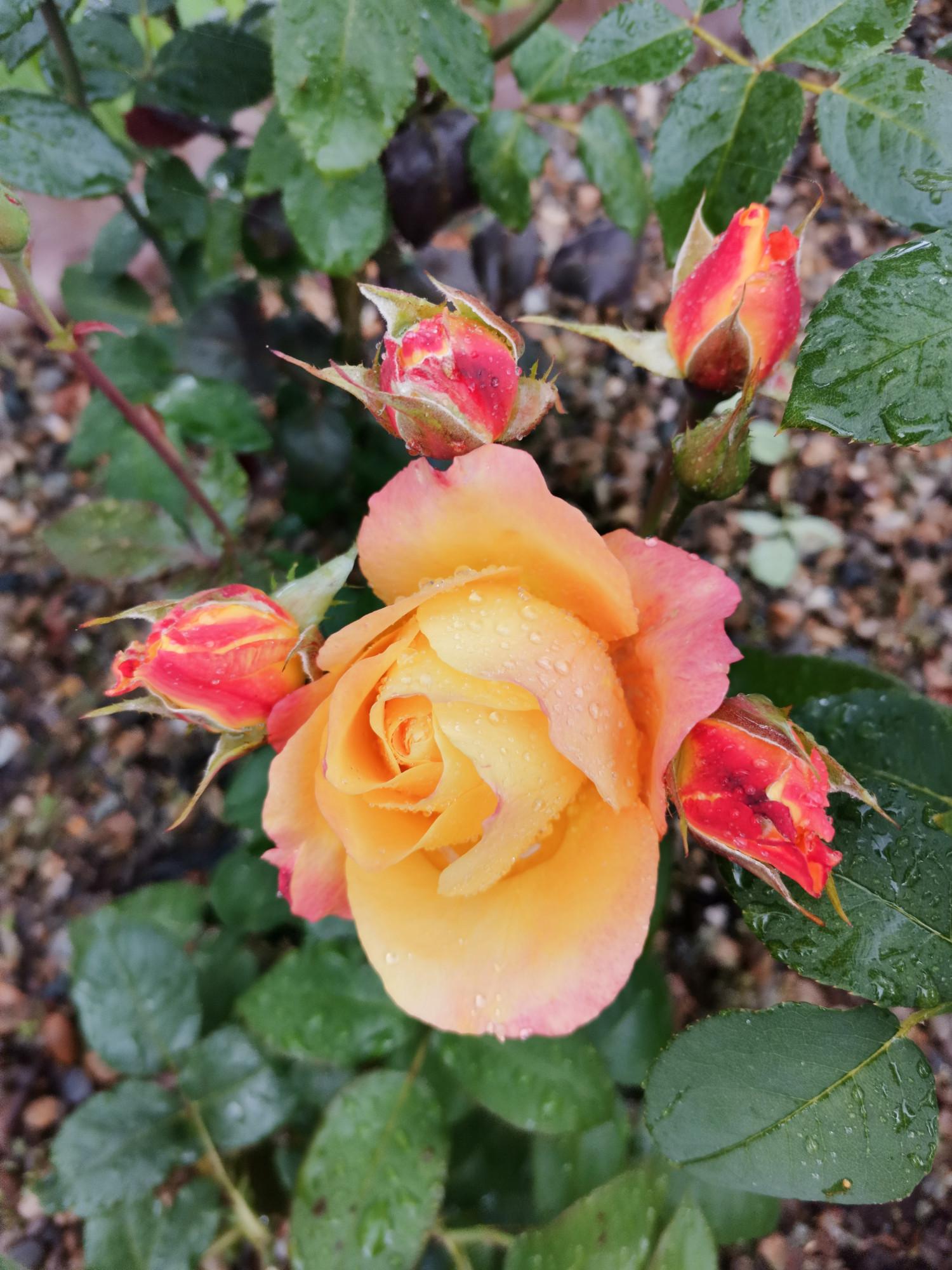 Романовская аллея розарий