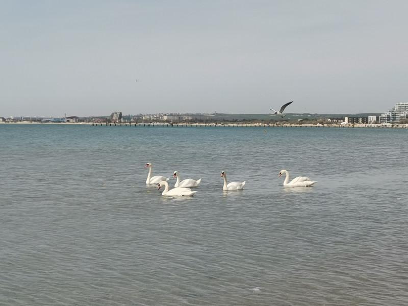 Лебеди на Черном море Анапа