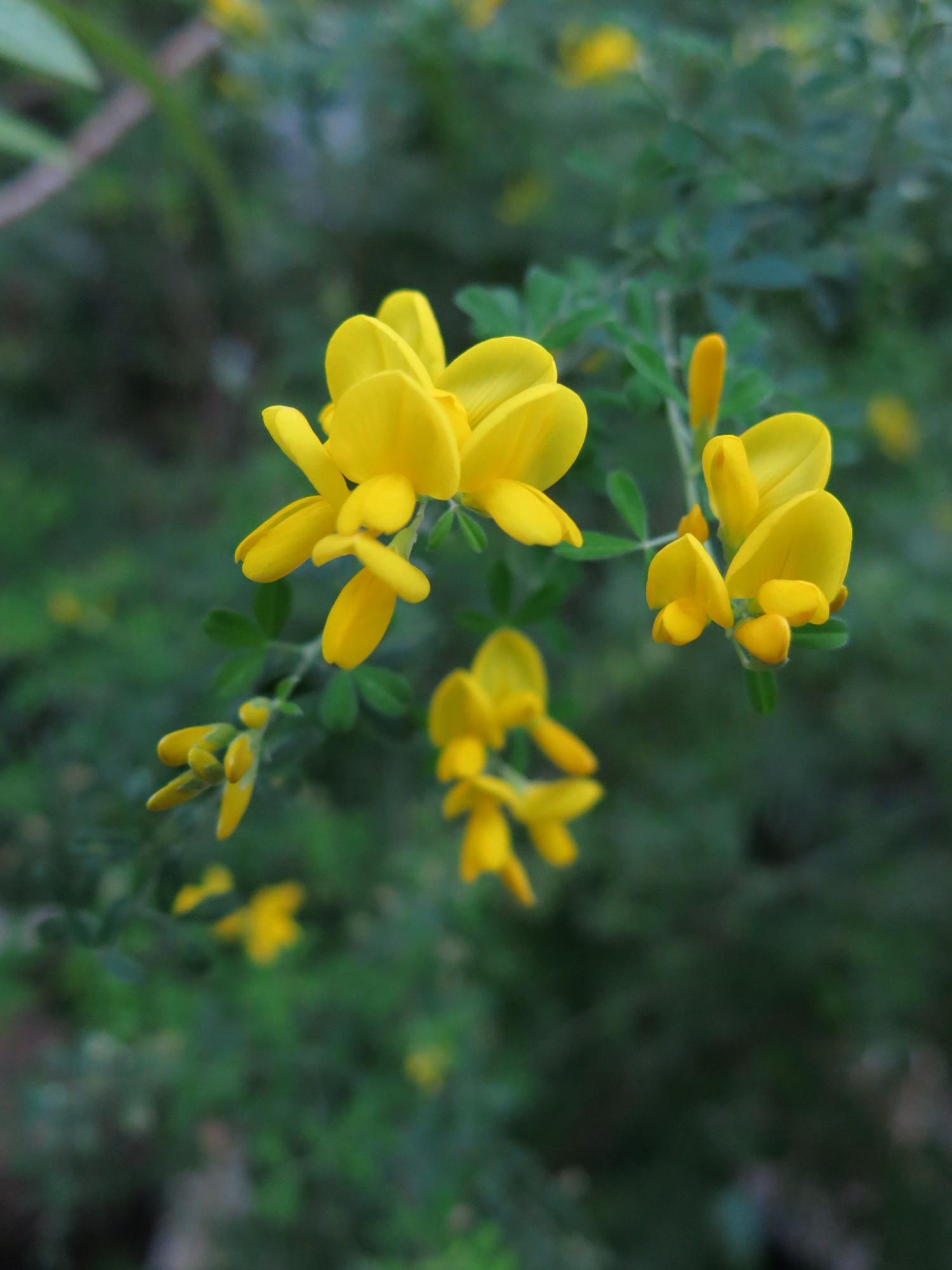 Акация желтая, запах такой сладкий, пленяющий