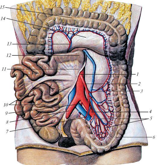 брыжеечная артерия