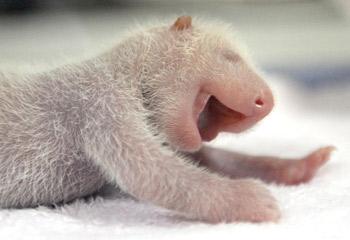 318618-panda-pamper
