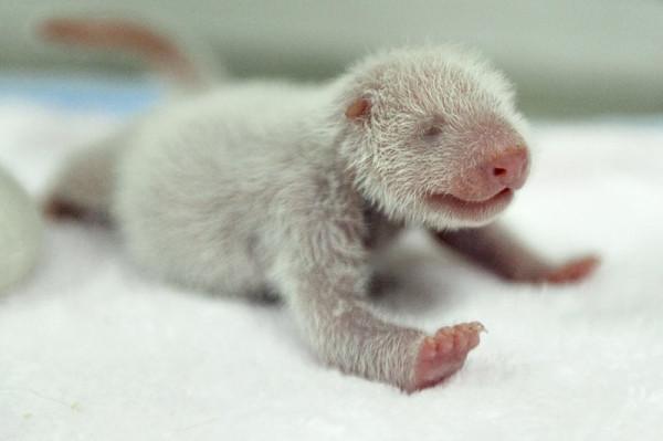baby-panda_5