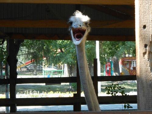 шипящий страус