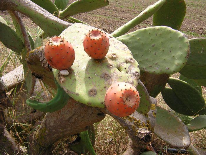 Итальянцы высаживали кактусы вдоль огородов