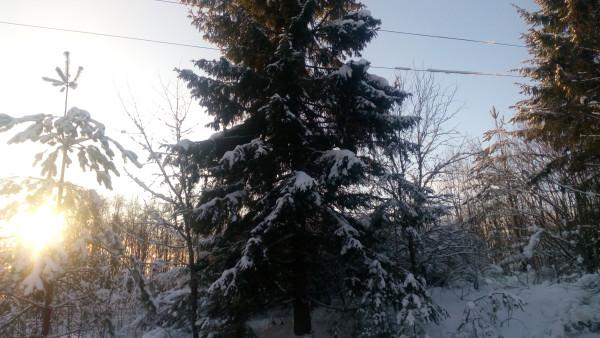 Нерасчищенная от леса линия электропередач в деревне Пустошка
