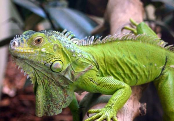 iguana2